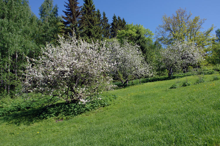 Apple blossom in POAM Finland.